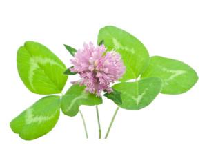 Herbal medicine:Red clover